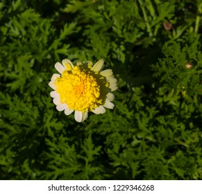 Beautiful  elegant double bright yellow  blooms of marguerite daisy species  in flower  add the charm and simplicity of a cottage garden to the suburban street scape from late winter to early spring.