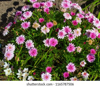 Beautiful  elegant double pink  blooms of marguerite daisy species  in flower  add the charm and simplicity of a cottage garden to the suburban street scape in mid-winter.