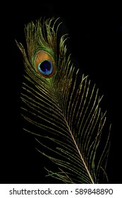 a beautiful elegant iridescent exotic male peacock bird feather isolated on black