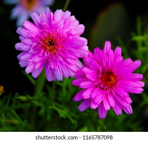 Beautiful  elegant semi double dark carmine pink blooms of marguerite daisy species   in flower  add the charm and simplicity of a cottage garden to the suburban street scape.