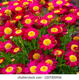 Beautiful  elegant semi double dark crimson   pink blooms of marguerite daisy species   in flower  add the charm and simplicity of a cottage garden to the suburban street scape.