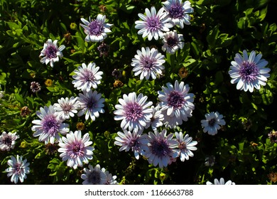 Beautiful  elegant semi double mauve violet  blooms of marguerite daisy species   in flower  add the charm and simplicity of a cottage garden to the suburban street scape in early spring.