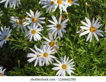 Beautiful  elegant single white blooms of marguerite daisy species   in flower  in early spring add the charm and simplicity of a cottage garden to the suburban street scape.