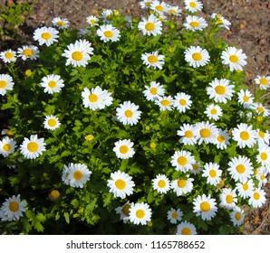 Beautiful  elegant small  semi double  white blooms of marguerite daisy species  in flower  in early spring add the charm and simplicity of a cottage garden to the suburban street scape.