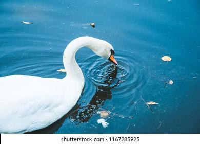 Beautiful elegant white swan with long neck and orange beak swimming and drinking from lake