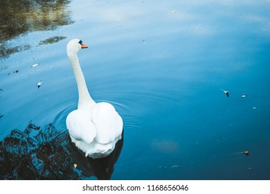 Beautiful elegant white swan with long neck and orange beak swimming away
