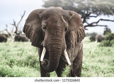 Beautiful elephant in Kenya