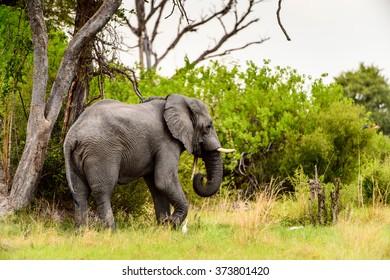 Beautiful Elephant in the Moremi Game Reserve (Okavango River Delta), National Park, Botswana
