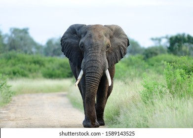 A beautiful elephant on a gravel pathway surrounded by green grass and trees