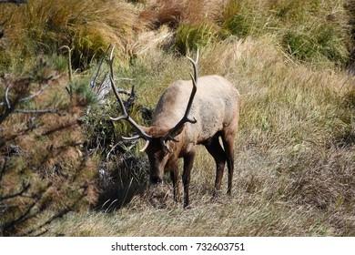 Beautiful Elk in Estes Park, Colorado on October 5, 2017.