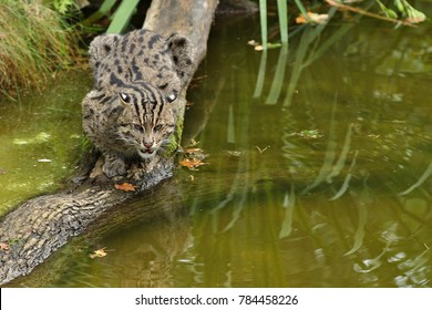 Beautiful and elusive fishing cat in the nature habitat near water. Endangered species of cats living in captivity. Kind of small cats. Prionailurus viverrinus.