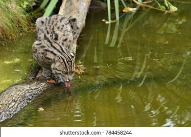 Schöne und schwer fassbare Angelkatze in der Natur Lebensraum nahe Wasser. gefährdete Arten von in Gefangenschaft lebenden Katzen. Kleine Katzen. Prionailurus viverrinus.