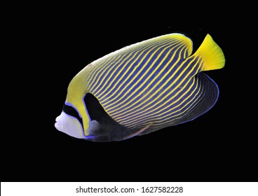 The beautiful emperor angelfish on isolated black background. Pomacanthus imperator is a reef-associated fish native to the Indian and Pacific Oceans.