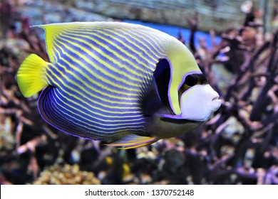 The beautiful emperor angelfish (Pomacanthus imperator) is swimming in marine aquarium. It is a reef-associated fish native to the Indian and Pacific Oceans.