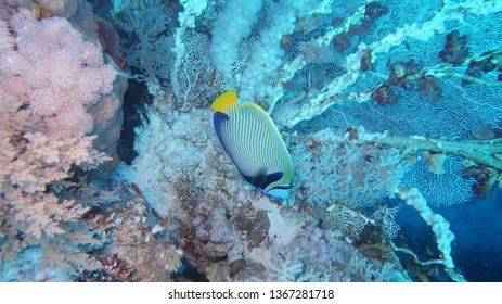 A beautiful Emperor Angelfish swimming in front of beautiful hard corals at the panorama reef in the Red Sea in Egypt