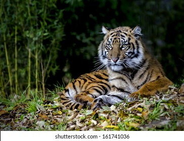 Beautiful and endangered female Sumatran Tiger Cub