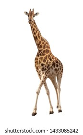 Beautiful endangered Rothschild's giraffe looking at camera isolated on white