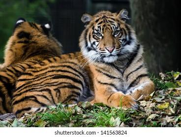 Beautiful endangered young female Sumatran Tiger