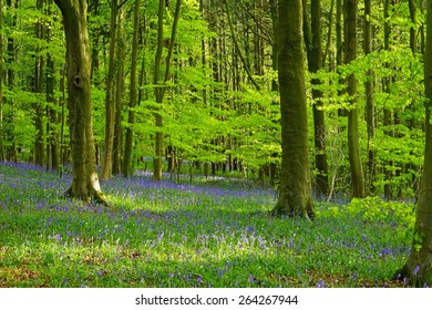A beautiful English bluebell (Hyacinthoides non-scripta) wood in spring, lit by afternoon sunlight, Standish Woods, Stroud The Cotswolds, Gloucestershire, United Kingdom