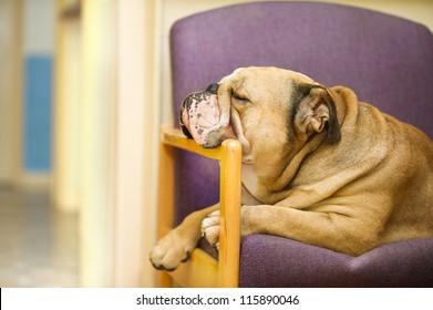 Beautiful English Bulldog dog having a rest in an armchair