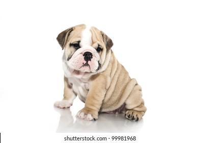 Beautiful english bulldog puppy isolated