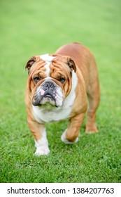 Beautiful English bulldog walking outdoor,selective focus