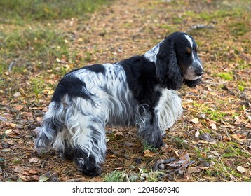 A beautiful english cocker spaniel of a blue-roan color stands on a forest path. On the ground are fallen leaves and conifer needles. A park. Autumn.