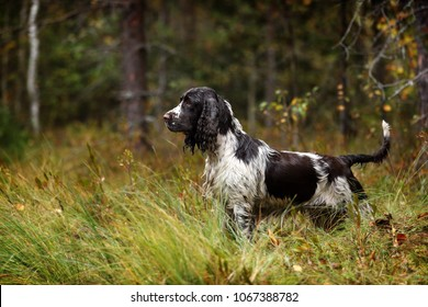 Beautiful english dog springer spaniel standing in the grass in the forest
