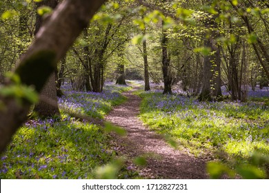 A beautiful English forest in Springtime.