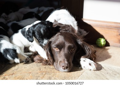 Beautiful English Springer Spaniel Bitch and Litter