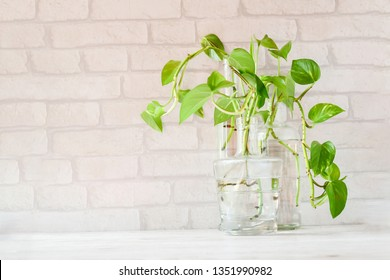Beautiful epipremnum aureum or money plant in glass bottle with background brick wall. A popular house plante climb in other name as money plant, leaves in heart-shape with green, yellow and white.