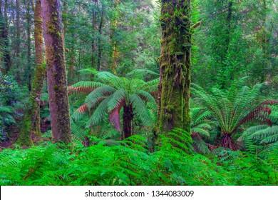 Beautiful Eucalyptus Temperate Rainforest.Home of the worlds tallest flowering tree.Swamp Gum Eucalyptus Regnans.Mount Field National Park.Central Highlands of Tasmania, Australia.