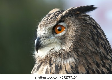 beautiful Eurasian eagle-owl