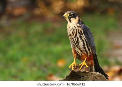 Beautiful Eurasian hobby Falco subbuteo