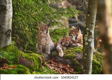 Beautiful Eurasian lynx (Lynx Lynx) family in the european forest lying on the rock in late autumn