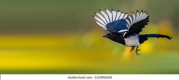 Beautiful Eurasian Magpie