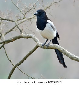 Beautiful Eurasian magpie, European magpie, Common magpie (Pica pica) bird perching on a branch.