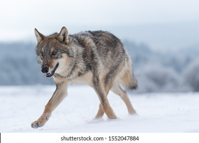 beautiful eurasian wolf running in snow with snow covered forest in background