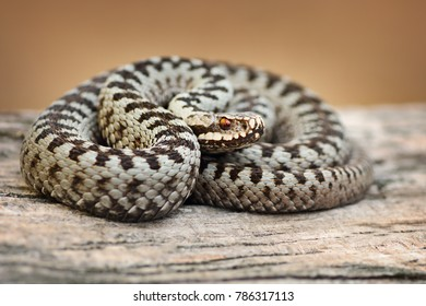 beautiful european common viper male on basking wooden plank ( Vipera berus )
