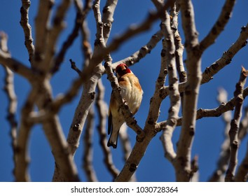 Beautiful european goldfinch amidst fig tree branches and blue sky background