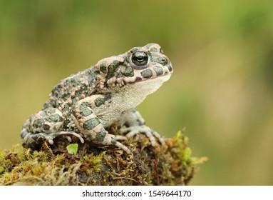 Beautiful european green toad Bufo viridis
