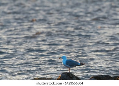 Beautiful European Herring Gull standing on a rock in the evening sunhine by the coast