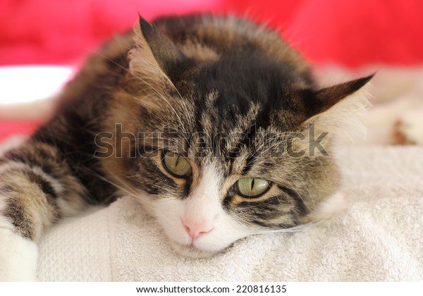 A beautiful European tabby cat resting on a white towel .