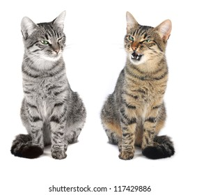 beautiful European two cat on a white background