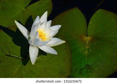 Beautiful European white water lily, white water rose or white nenuphar (Nymphaea alba) on a sunny summer day in the water