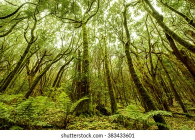 Beautiful evergreen forest in Garajonay national park on La Gomera island. Wide angle view with copy space