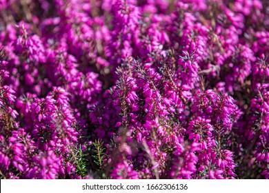 Beautiful evergreen heather Erica carnea (spring alpine heath) purple Flowers. Flowering Erica carnea pink ornamental plant, background.