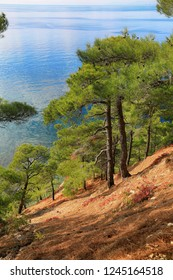 Beautiful evergreen pine trees growing on the slope by the sea
