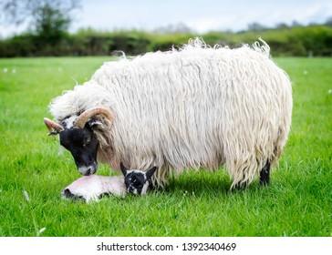 Beautiful ewe taking care of her new born lamb