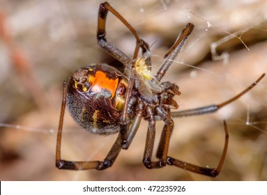 Beautiful example of a False Widow (aka Brown Widow) spider. This species is also dangerous to humans but not life threatening as is the case with the Black Widow or Black Button Spider.